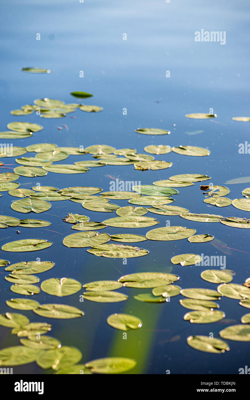 water liellies in the lake in summer with insects on them - Stock Image