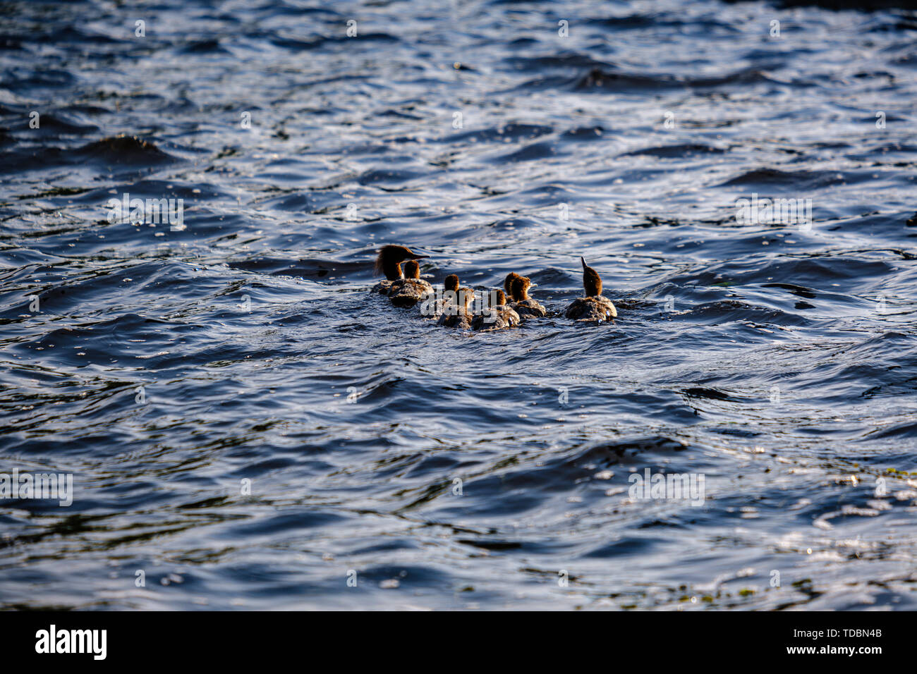 ducks and swans with ducklings swimming in water in summer - Stock Image