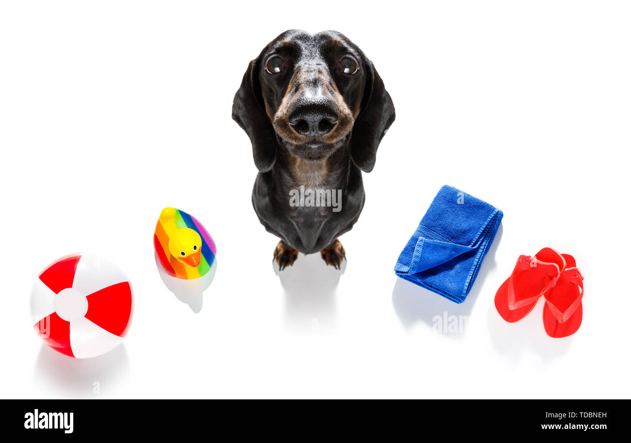 summer vacation sausage dachshund dog with rubber duck and flip flops, towel wearing sunglasses, isolated on white background - Stock Image