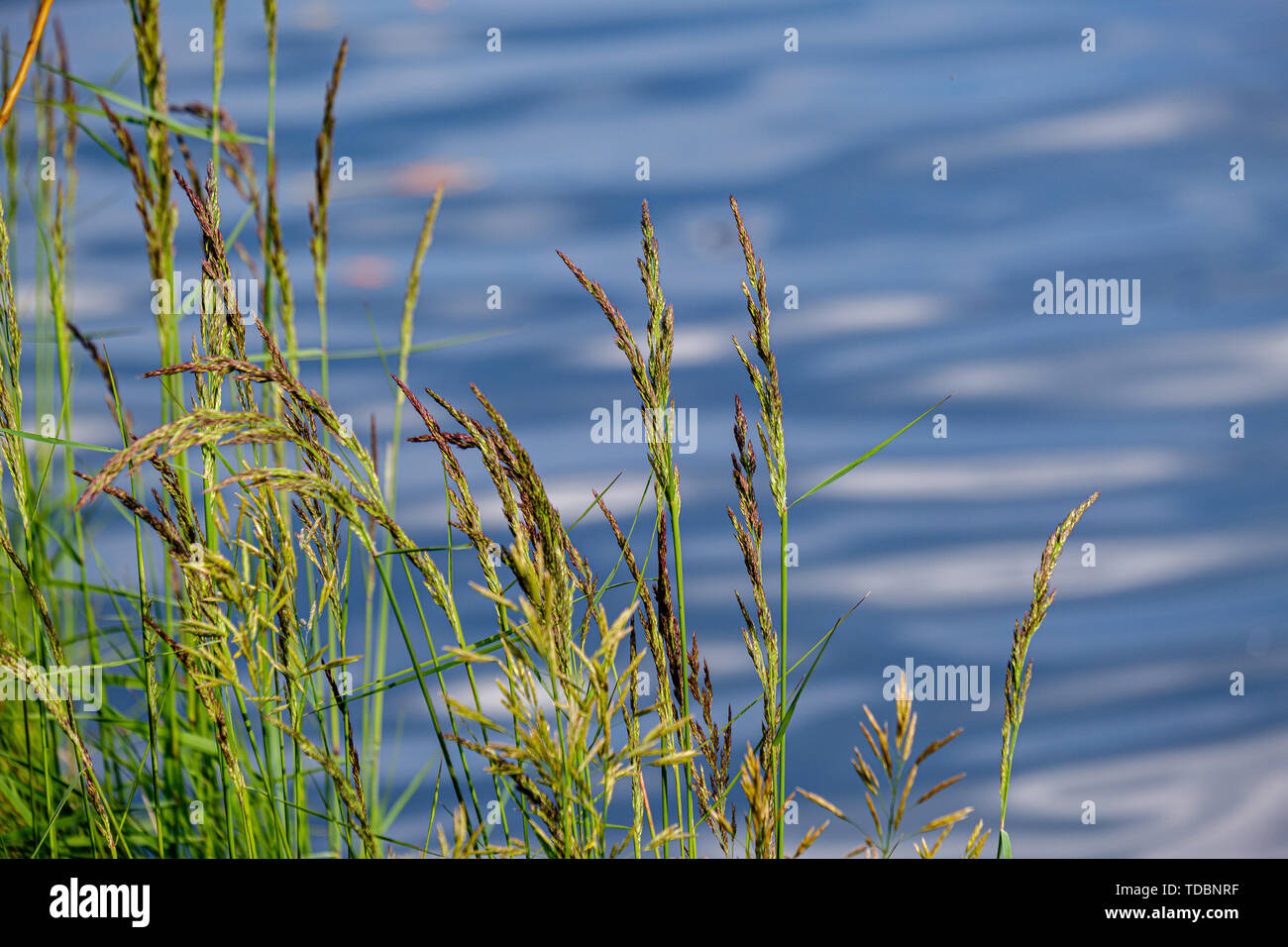 green meadow pasture grass details by the river  with blur background - Stock Image