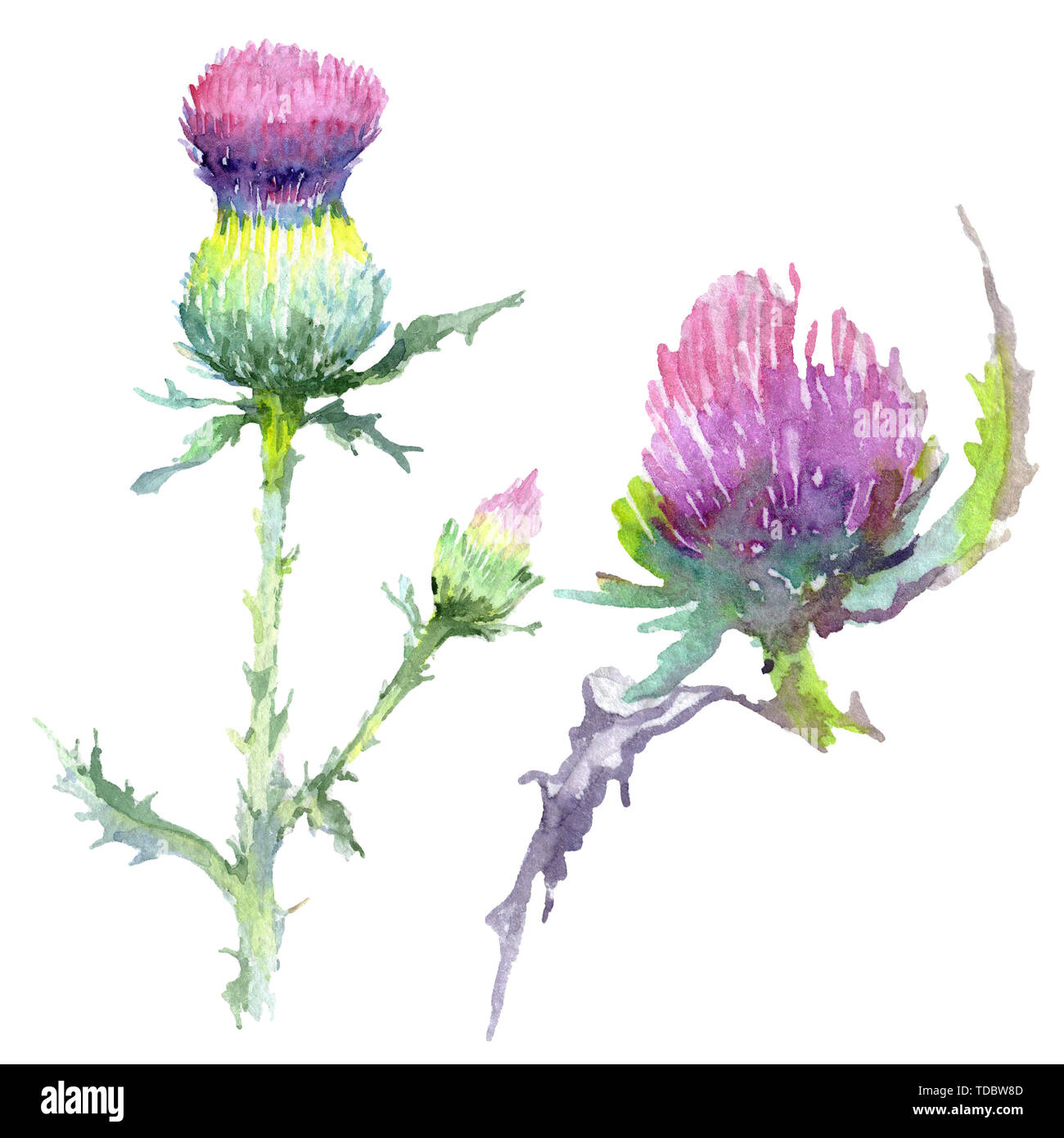 fcbdb4d48 Pink thistle floral botanical flowers. Wild spring leaf wildflower.  Watercolor background illustration set. Watercolour drawing fashion  aquarelle. Iso