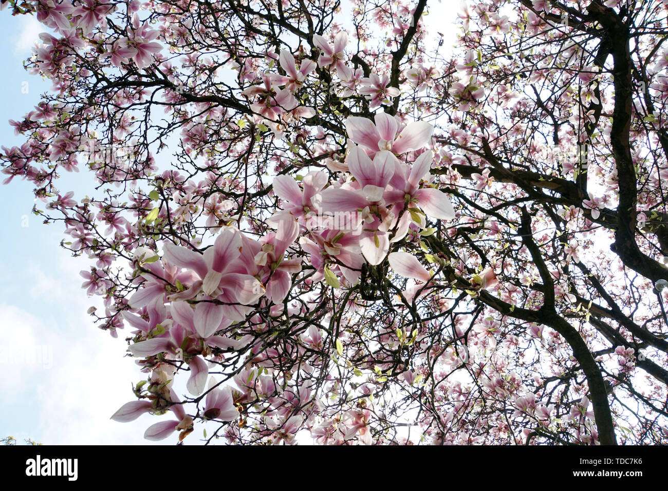 Blick von unten in einen blühenden Magnolienbaum, Solingen, Nordrhein-Westfalen, Deutschland - Stock Image