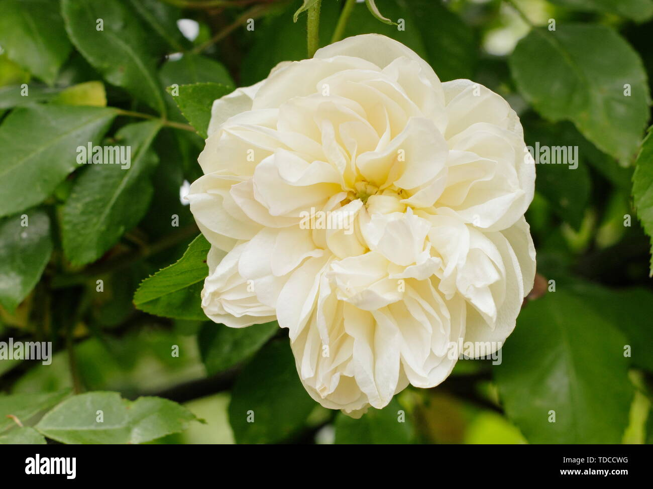 Rosa Desprez A Fleur Jaune Fragrant Climbing Rose