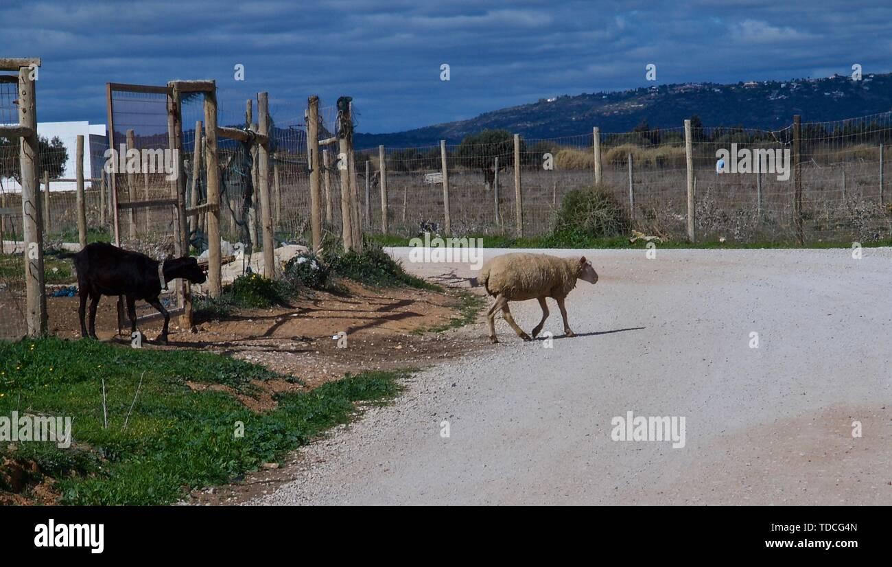 Goat Farming In India Stock Photos & Goat Farming In India