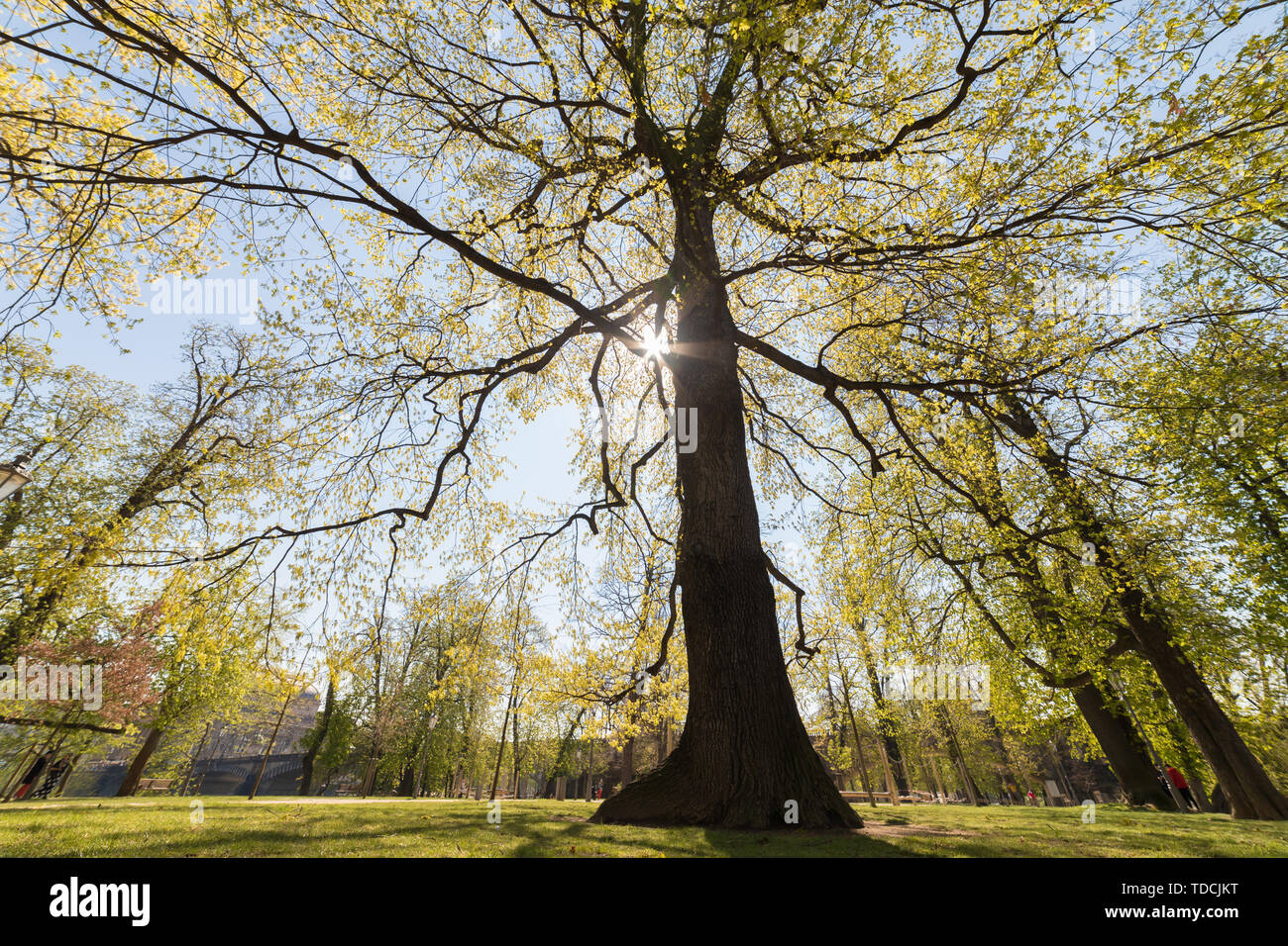 A tree in the park. A sunlight going through the leaves Stock Photo