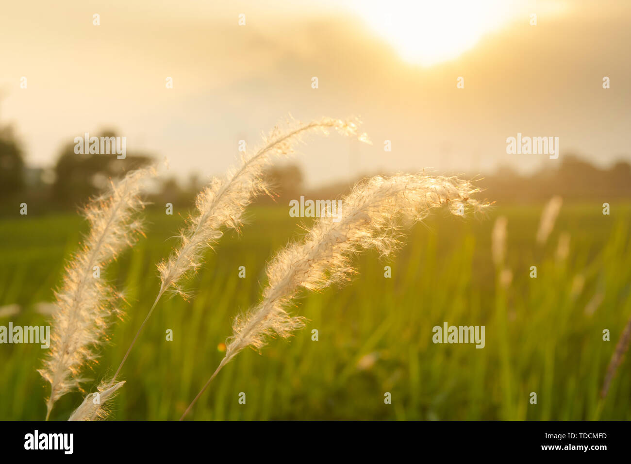 Poaceae grass flower. Imperata cylindica (L.) P. Beauv, poaceae (GRAMINEAE) in the rays of the rising sunset background. - Stock Image