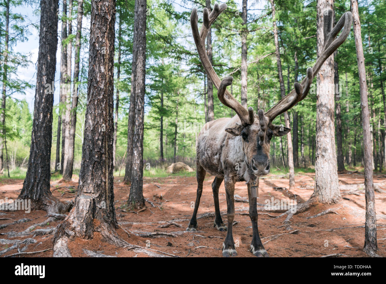A middle-aged reindeer in Oluguya Park, Hulunbuir Gen River City, Inner Mongolia, China Stock Photo