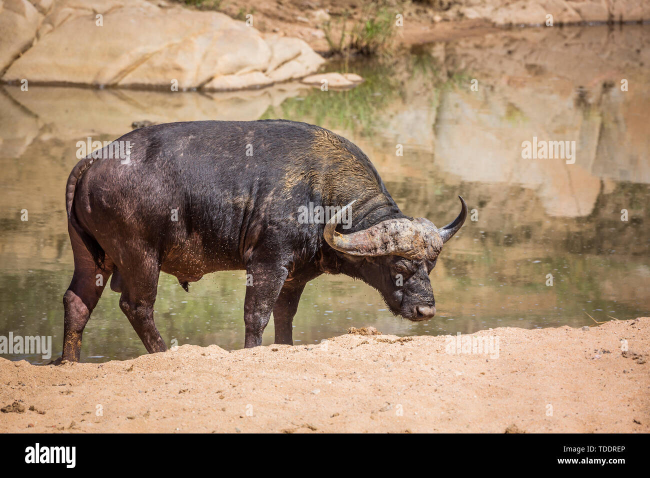 African buffalo ruminating on river bank in Kruger National park, South Africa ; Specie Syncerus caffer family of Bovidae - Stock Image
