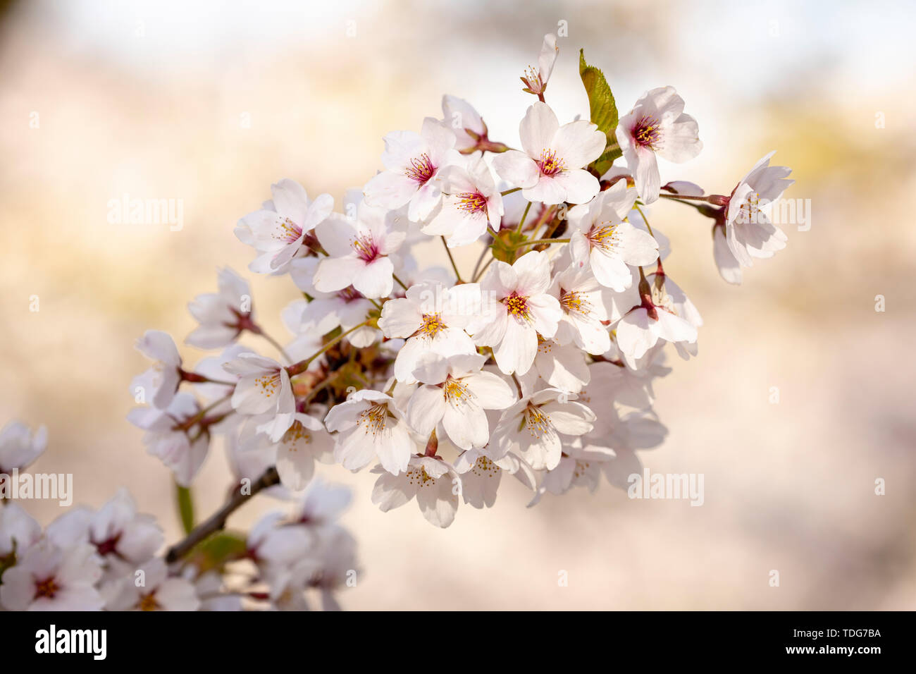 A branch of white cherry blossoms in soft sunlight. Stock Photo