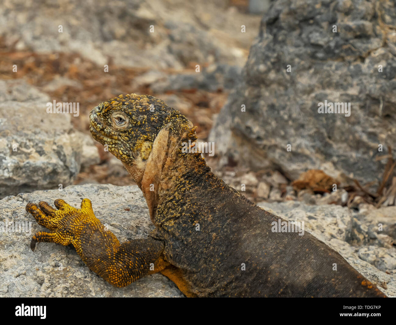 high angle close up of a land iguana on south plazas in the galapagos islands, ecuador - Stock Image