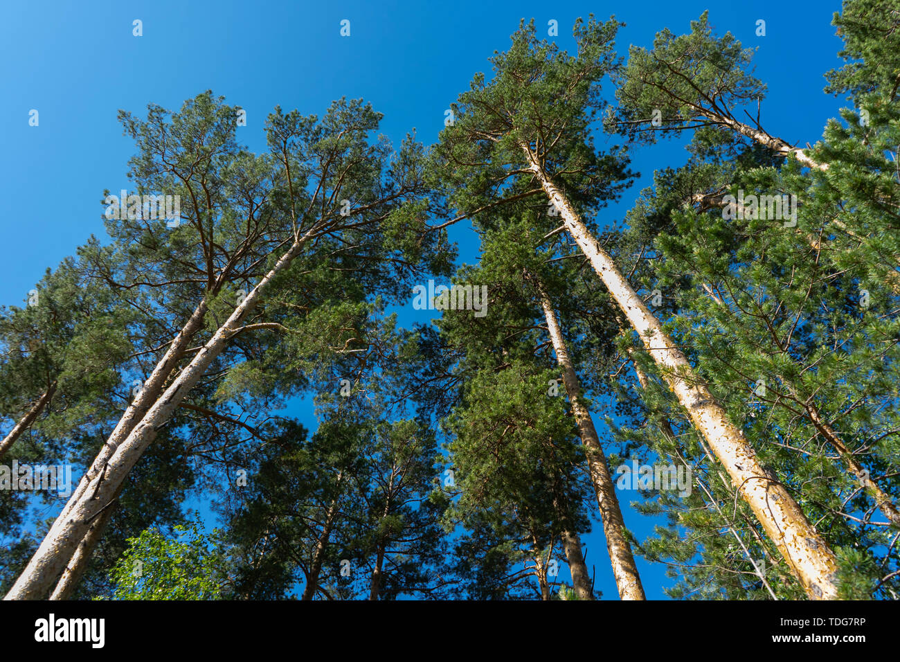 Tall pines and blue sky. High trunks of pines from the ground to the sky. Centered view with bright blue sky background. Pines for construction Stock Photo