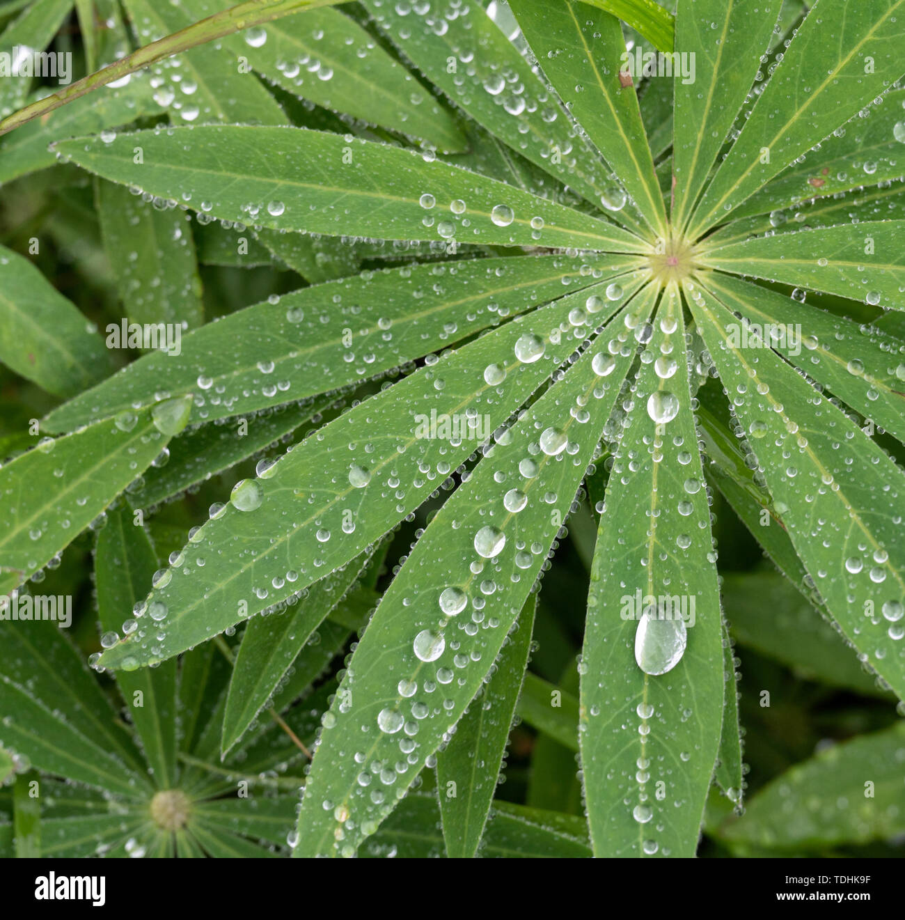 Closeup of lupine leafs and water drops. Latin name: Lupinus wolfish - Stock Image