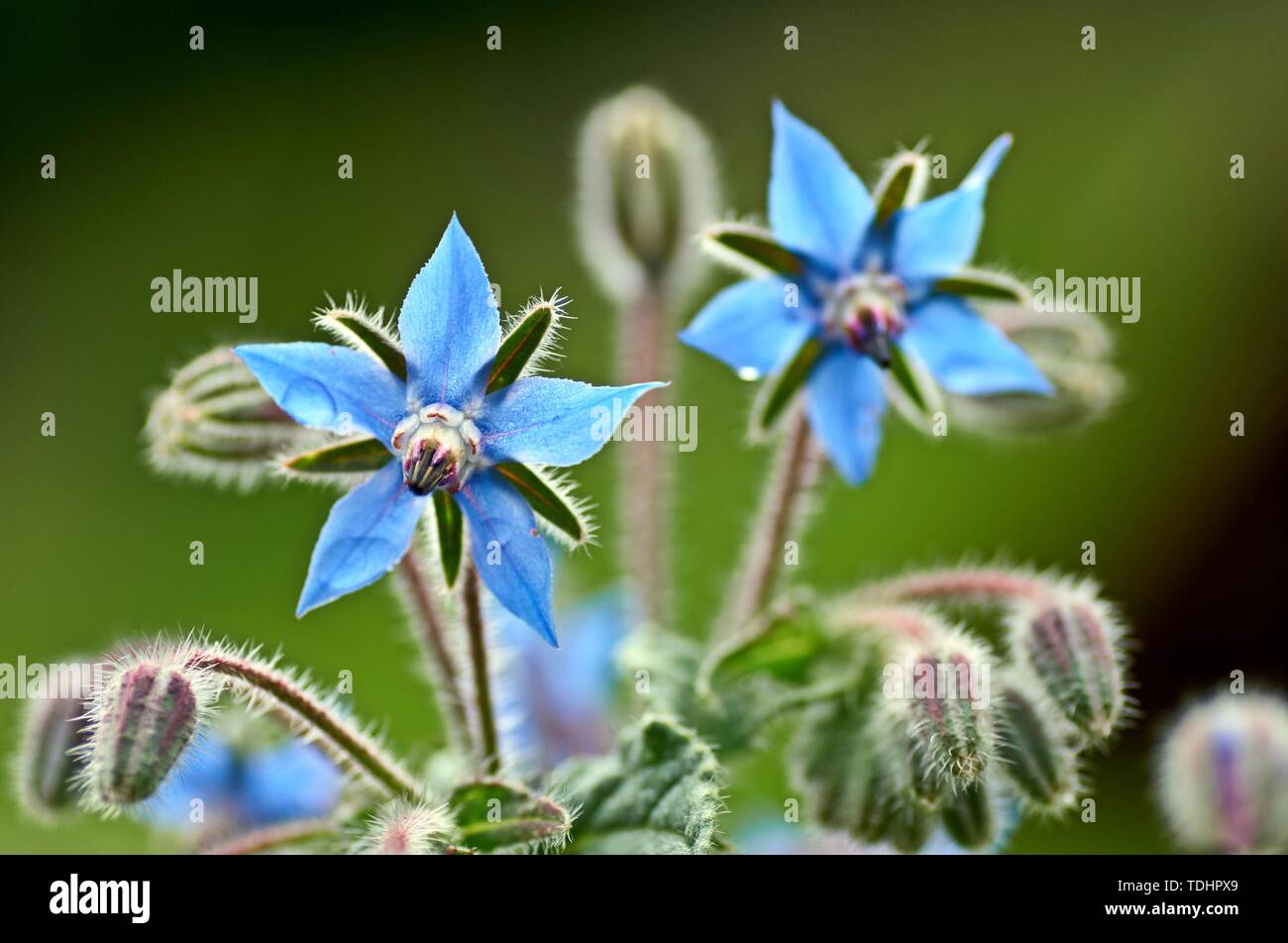 Borage borago officinalis starflower edible flower with bright blue petals on natural green background - Stock Image