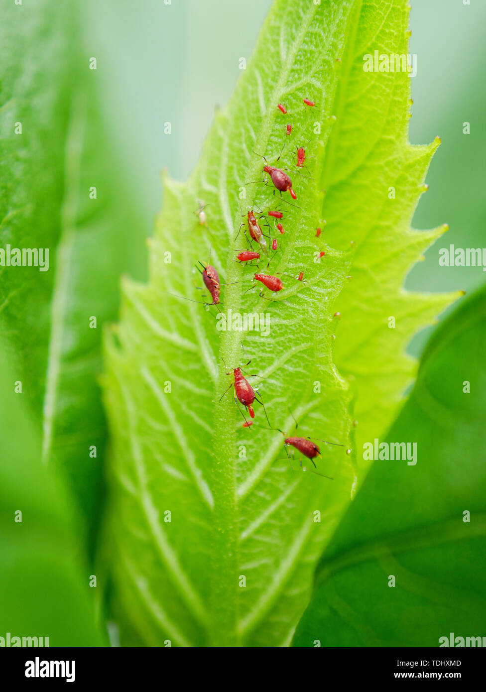 Red aphids (Uroleucon sp) on cup plant (Sylphium perfoliatum), two giving birth. - Stock Image
