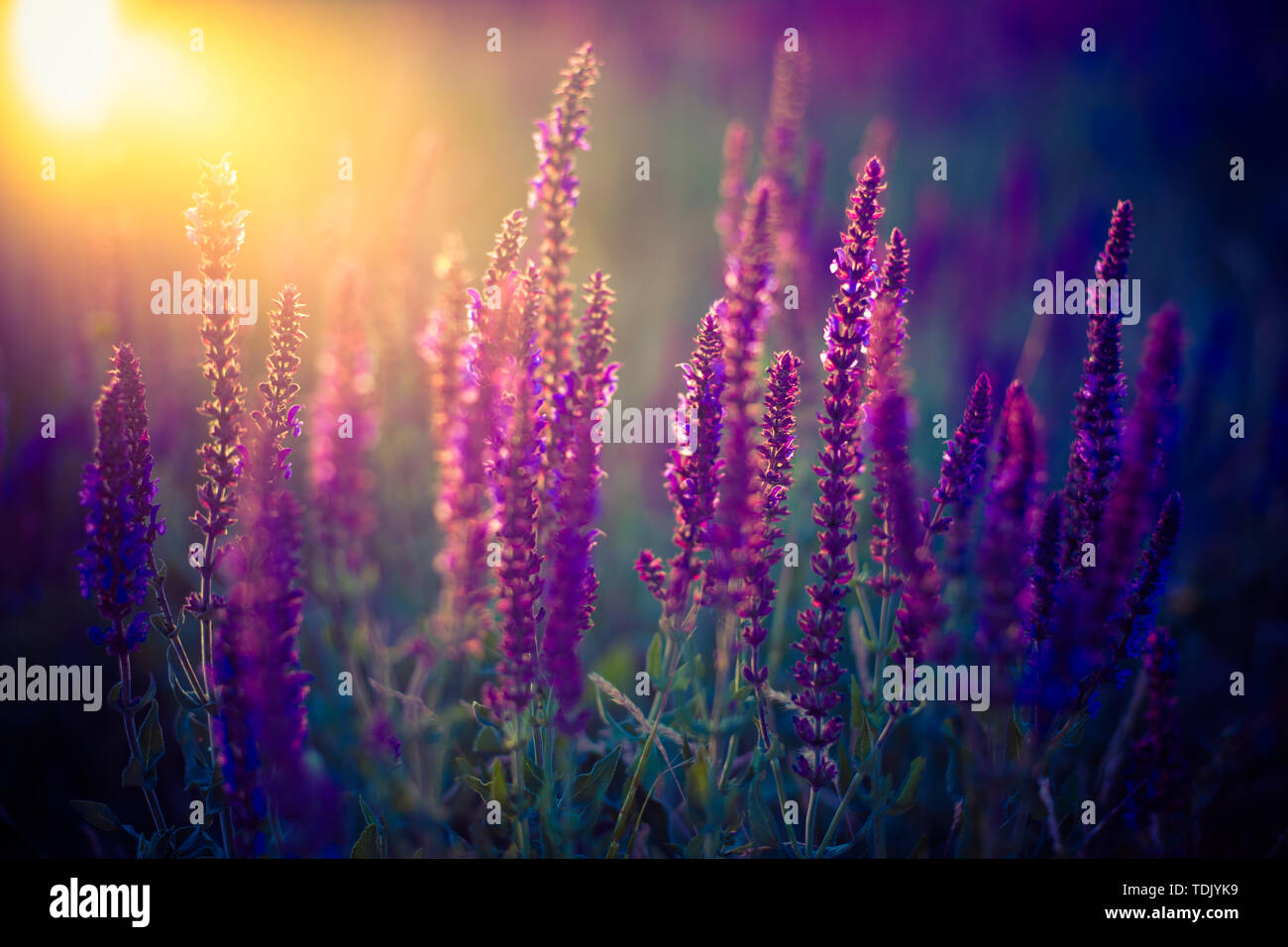Dark Field Image With Purple Flowers At Sunset With The Sun Stock Photo Alamy