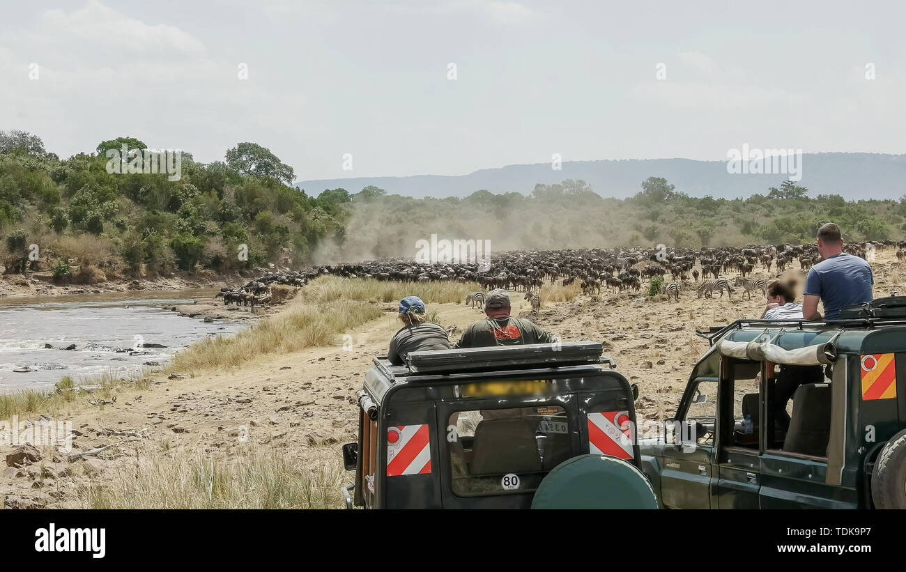 tourists in 4wd vehicles watch wildebeest massing at the mara river in the masai mara game reserve, kenya - Stock Image