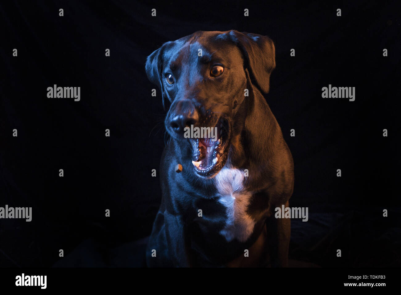 San Diego, California, USA. 16th June, 2019. A mixed labrador retriever and weimaraner rescued dog opens its mouth for a treat. Credit: KC Alfred/ZUMA Wire/Alamy Live News - Stock Image