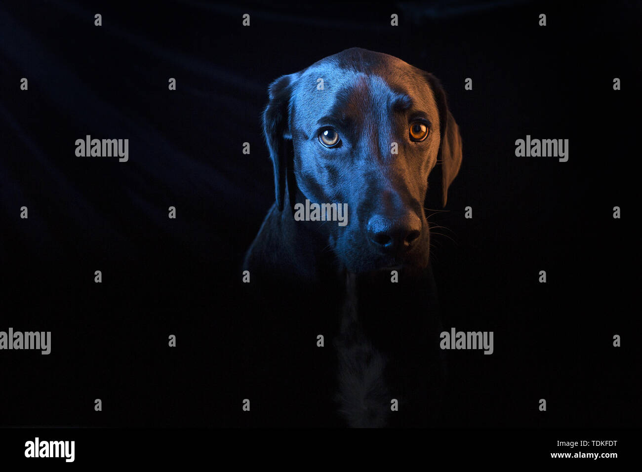 San Diego, California, USA. 16th June, 2019. A mixed labrador retriever and weimaraner rescued dog poses for a portrait. Credit: KC Alfred/ZUMA Wire/Alamy Live News - Stock Image