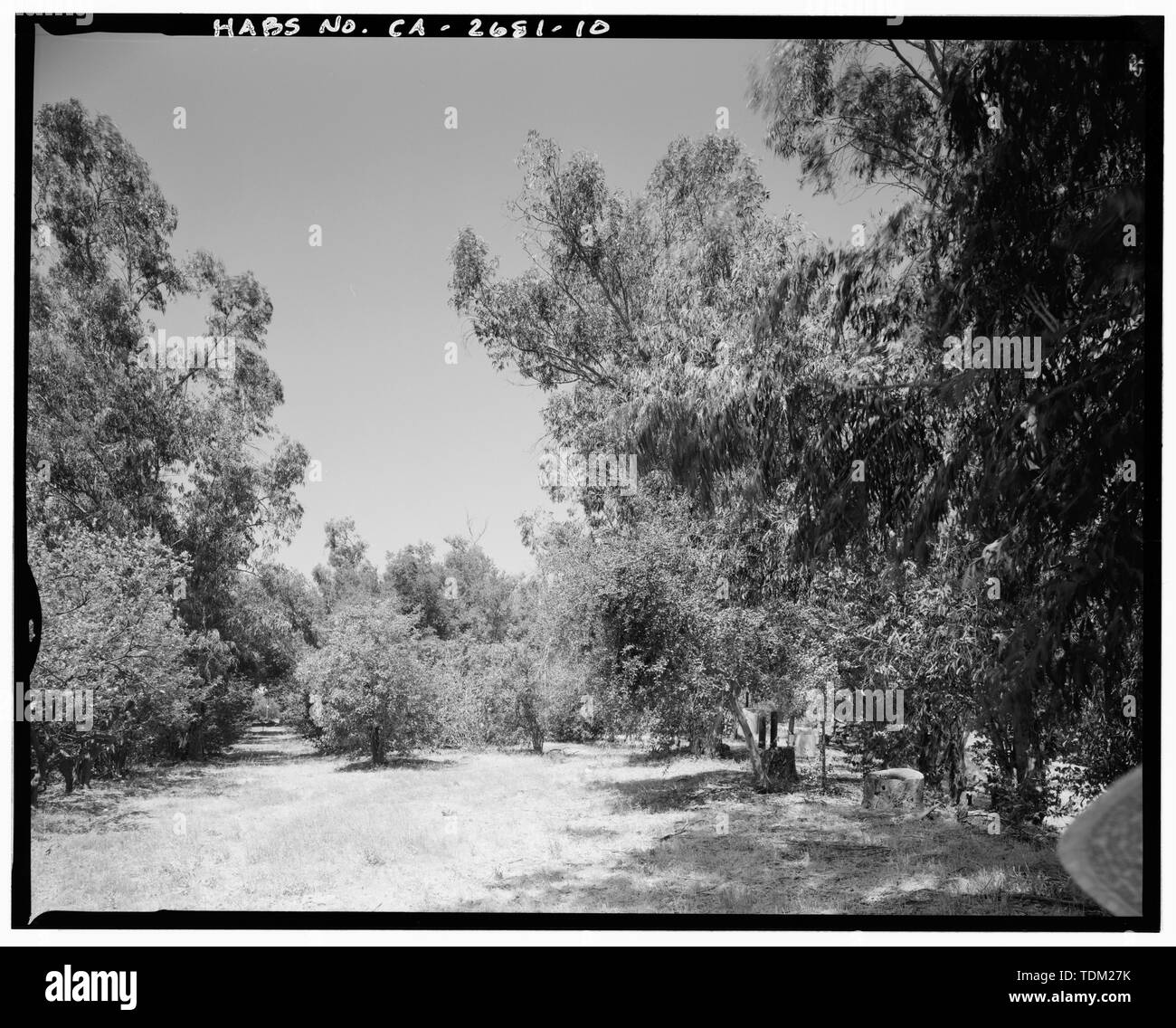 Overview in two parts- Right view showing orchard path on left eucalyptus windbreak bordering knoll on right. Camera facing 278 west. - Goerlitz House, 9893 Highland Avenue, Rancho Cucamonga, San Bernardino County, CA - Stock Image