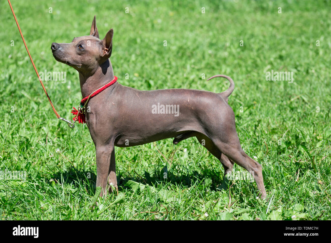 American hairless terrier puppy is standing on a green meadow. Pet animals. - Stock Image