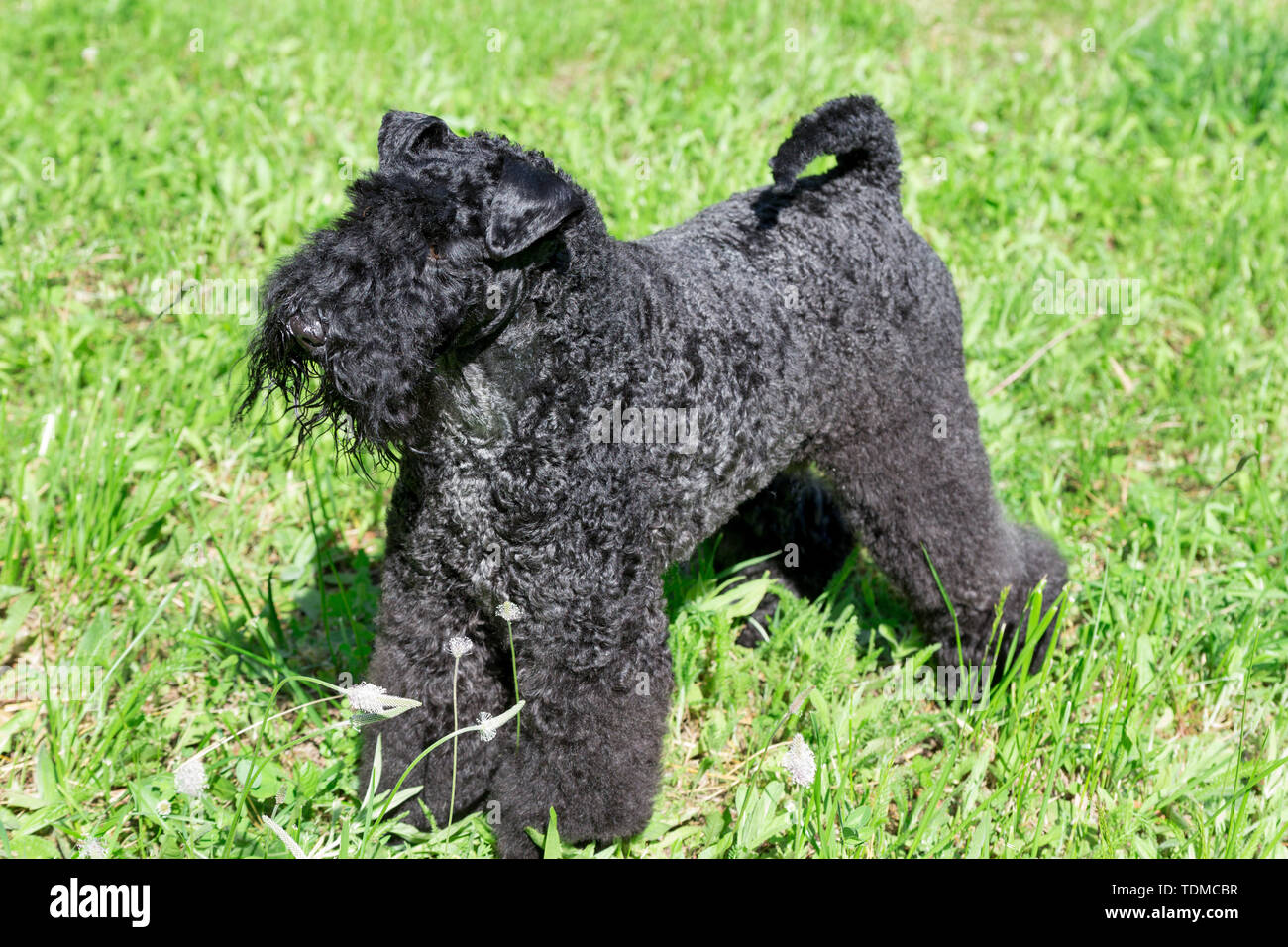 Irish blue terrier is standing on a green grass in the park. Pet animals. Purebred dog. - Stock Image