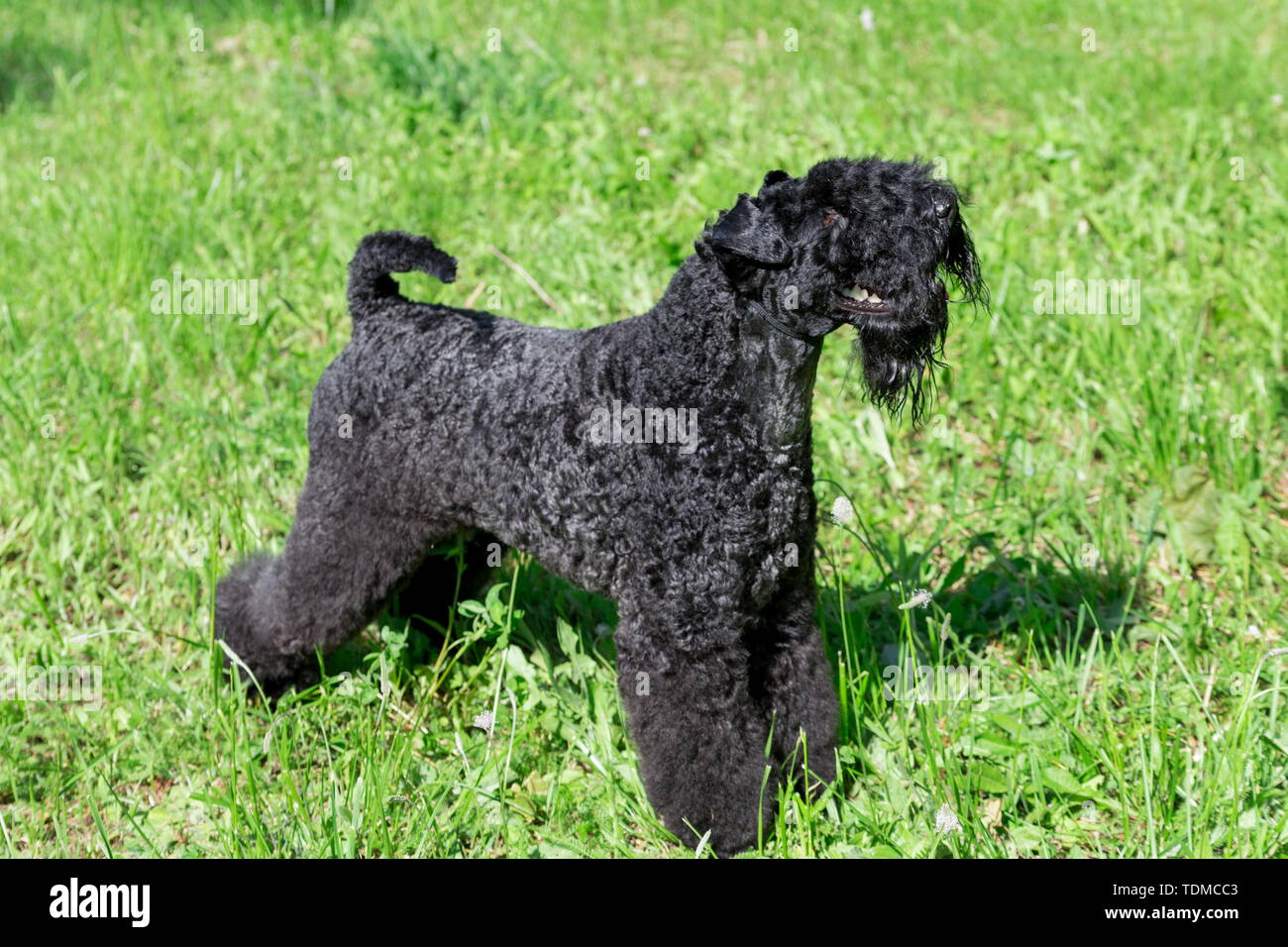 Cute kerry blue terrier is standing on a green grass in the park. Pet animals. Purebred dog. - Stock Image