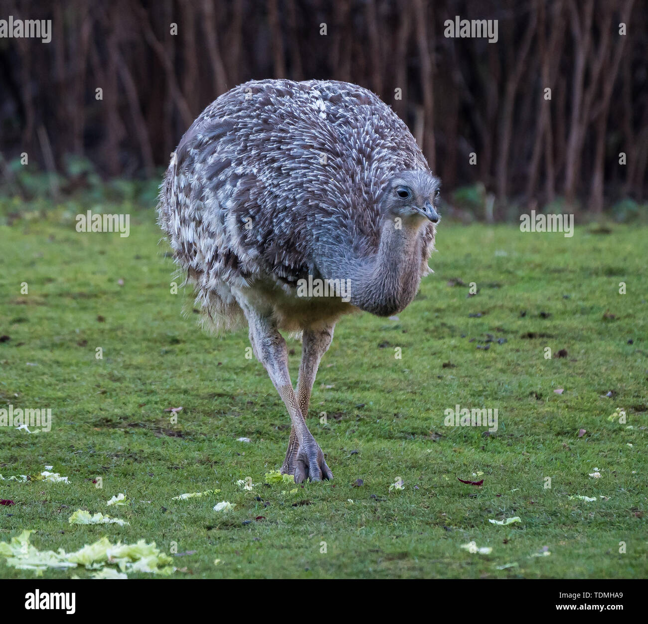 Darwin's rhea, Rhea pennata also known as the lesser rhea. It is a large flightless bird, but the smaller of the two extant species of rheas. - Stock Image