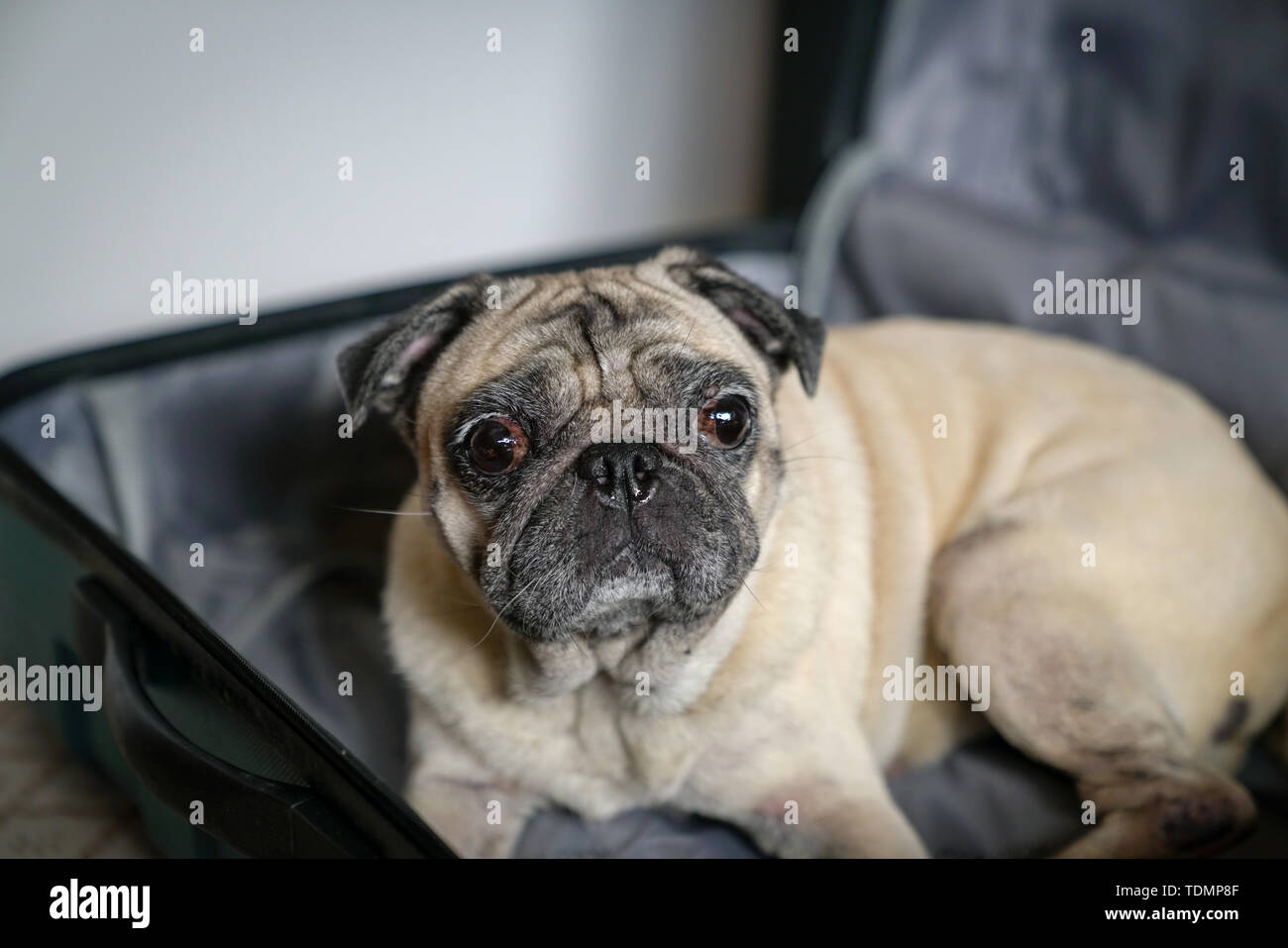 Pug dog in as suitcase  Travel or dog adoption concept Stock