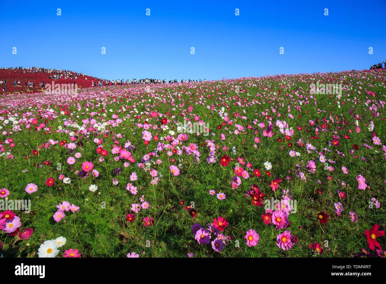 Cosmos flowers in Kokuei Hitachi Seaside Park - Hitachinaka, Ibaraki, Japan Stock Photo