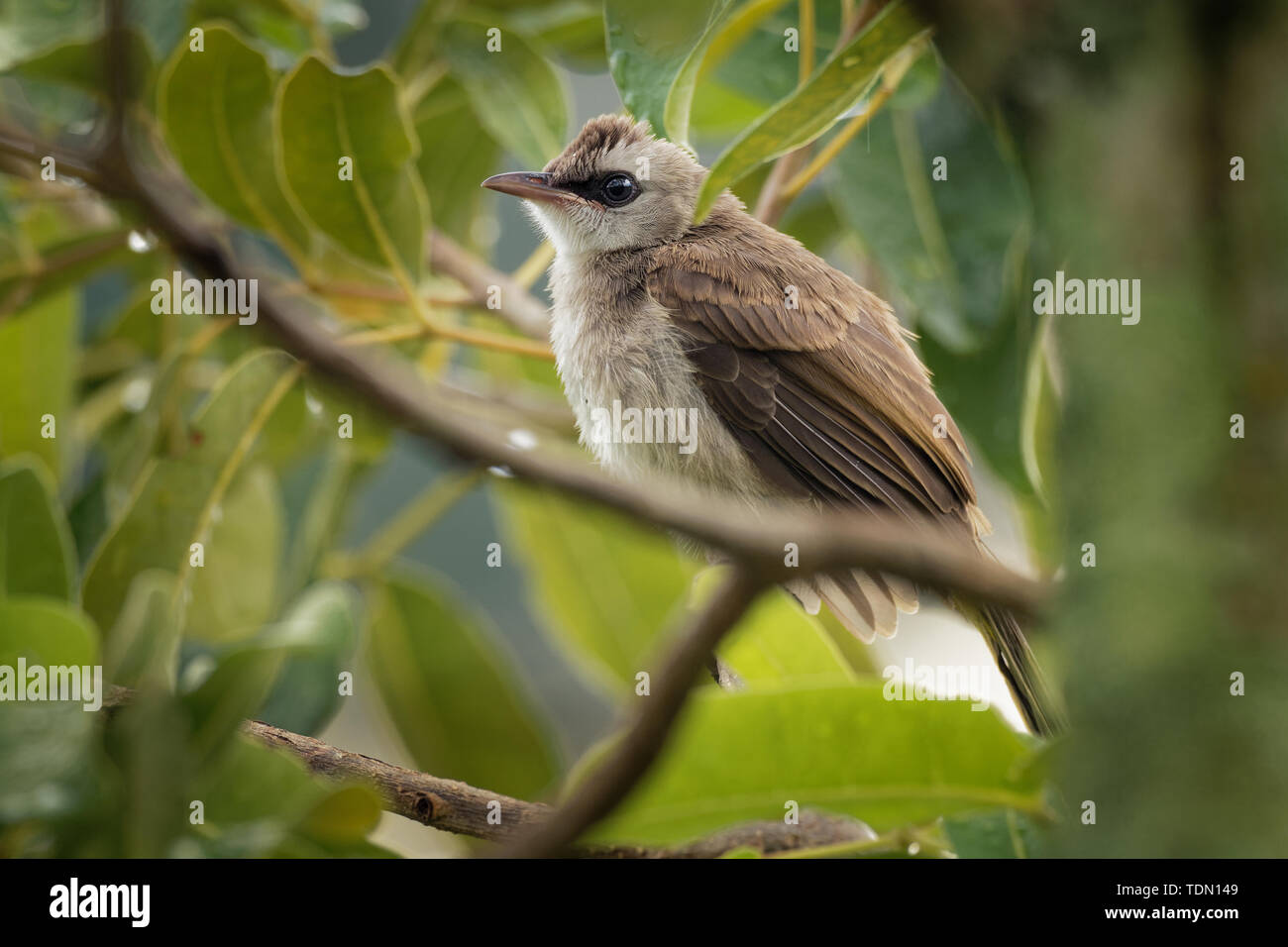 Yellow-vented Bulbul - Pycnonotus goiavier or eastern yellow-vented bulbul, member of bulbul family of passerine birds,  resident breeder in southeast Stock Photo