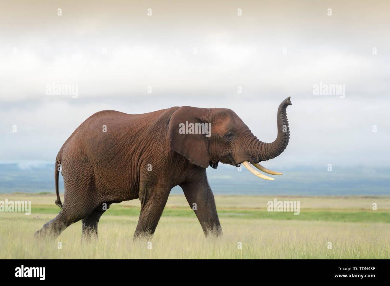 African elephant (Loxodonta africana) bull, smelling with trunk at sunset, Amboseli national park, Kenya. - Stock Image