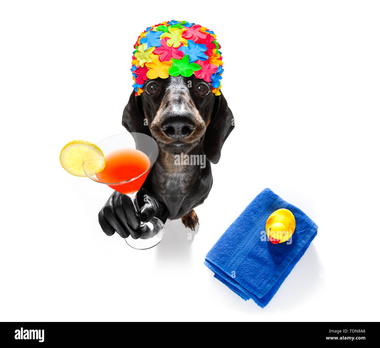 summer vacation sausage dachshund dog with rubber duck and towel wearing bath cap, isolated on white background drinking a cocktail - Stock Image