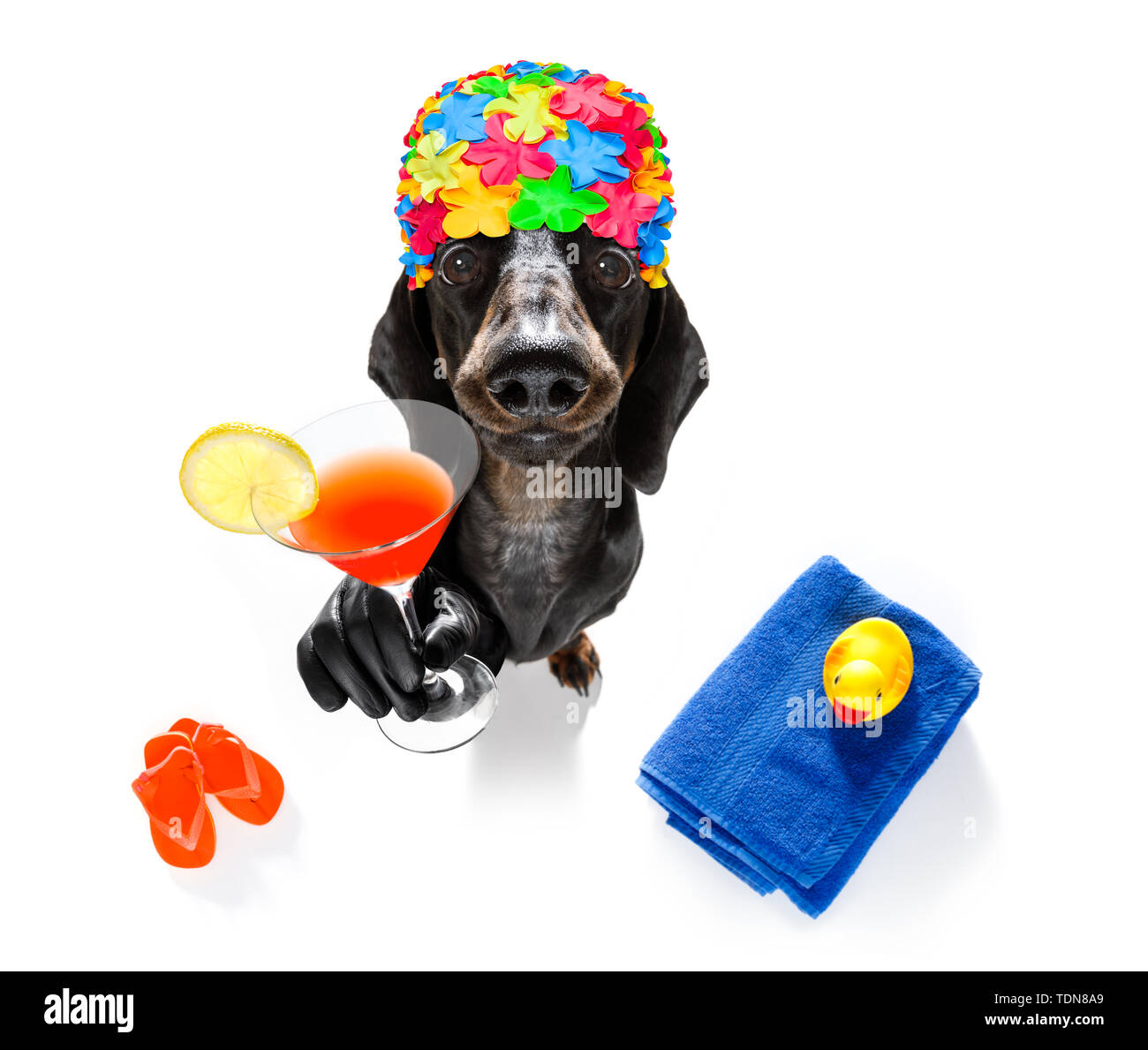 summer vacation sausage dachshund dog with rubber duck and flip flops wearing bath cap, isolated on white background drinking a cocktail - Stock Image