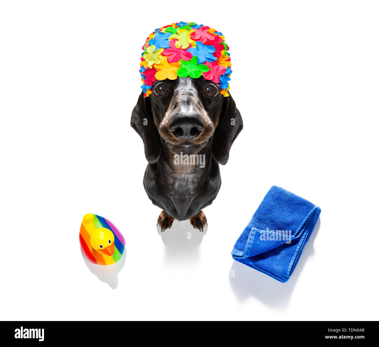 summer vacation sausage dachshund dog with rubber duck and towel wearing bath cap, isolated on white background - Stock Image
