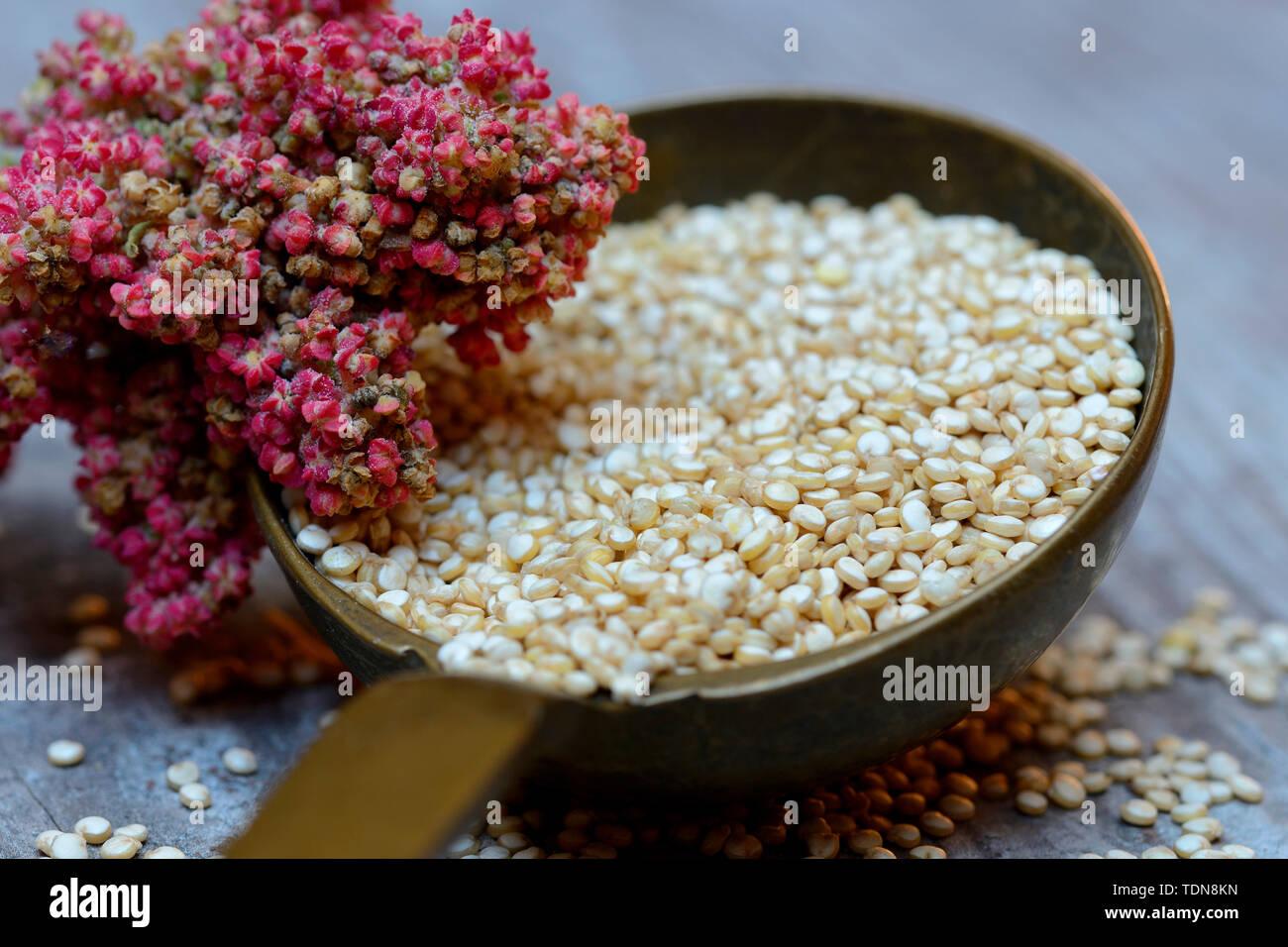 Quinoa in Kelle und reifer Quinoa-Zweig, Chenopodium quinoa Stock Photo