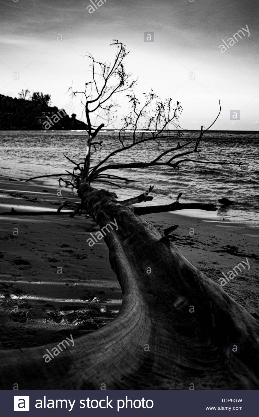 dead tree abandoned on the beach in front of a sleeping ocean - Stock Image