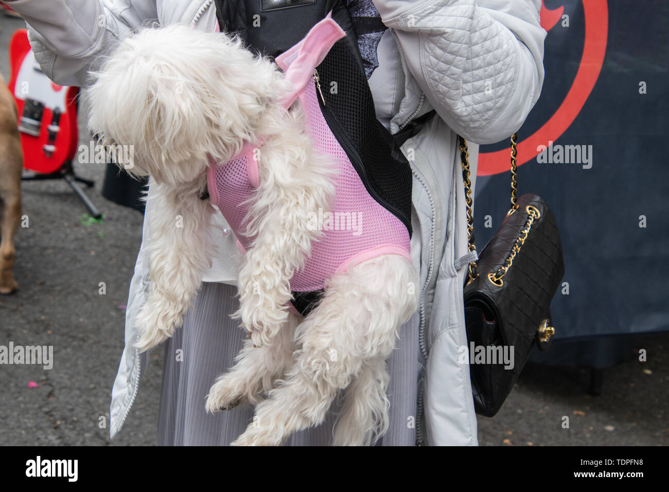Horizontal view of a woman in a white jacket carrying a shaggy white dog in a pink dog carrier attached to her body - Stock Image
