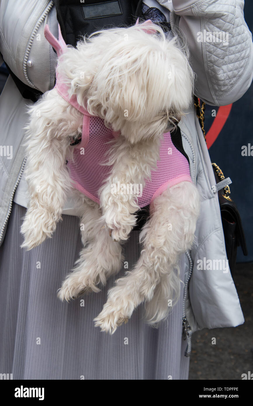 Vertical view of a woman in a white jacket carrying a shaggy white dog in a pink dog carrier attached to her body - Stock Image