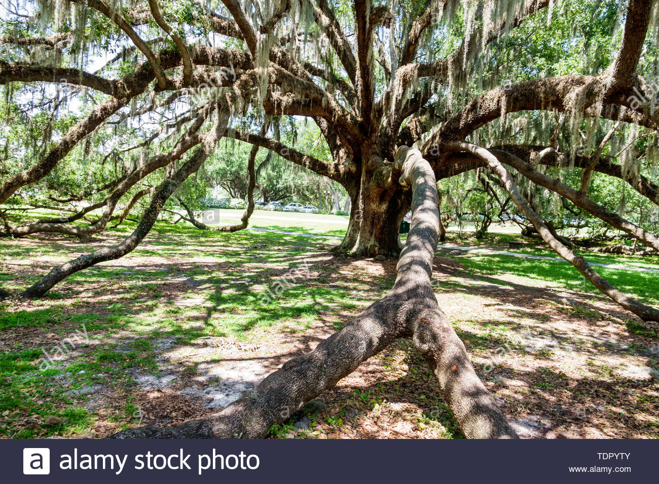 Orlando Florida Mennello Museum of Art The Mayor live oak tree significant old tree Spanish moss - Stock Image