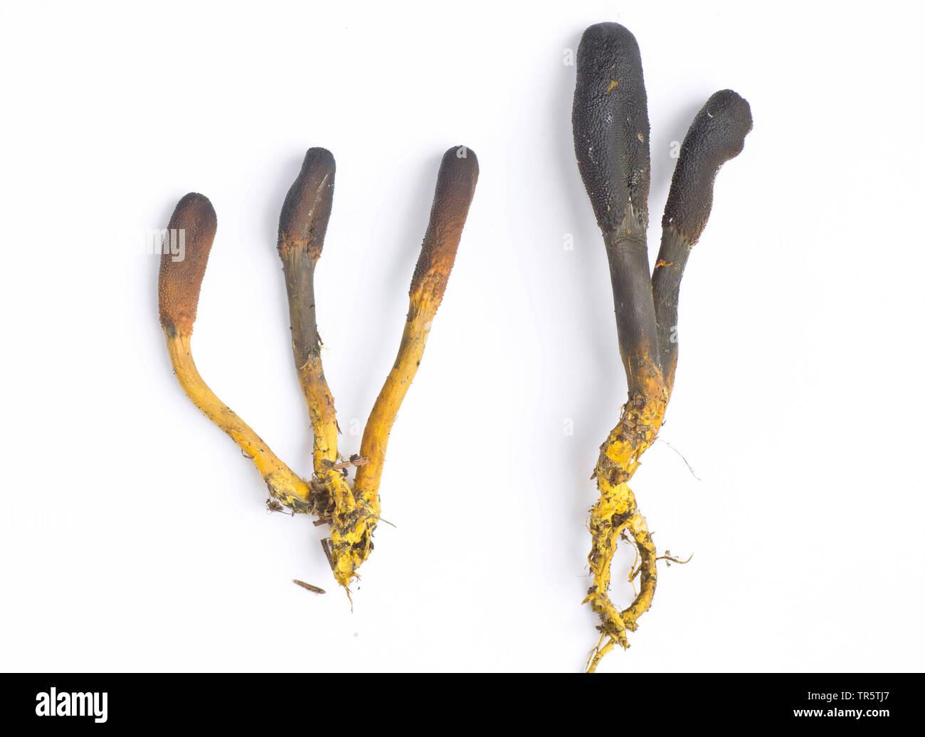 Erdzunge, Geoglossum (Geoglossum spec.), Fruchtkoerper, Freisteller, Deutschland, Bayern, Oberbayern | earthtongue (Geoglossum spec.), fruiting bodies - Stock Image