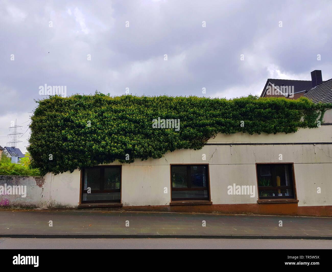 Gemeiner Efeu, Gewoehnlicher Efeu (Hedera helix), bluehender Efeu an einer Hauswand, Deutschland | English ivy, common ivy (Hedera helix), blooming iv - Stock Image