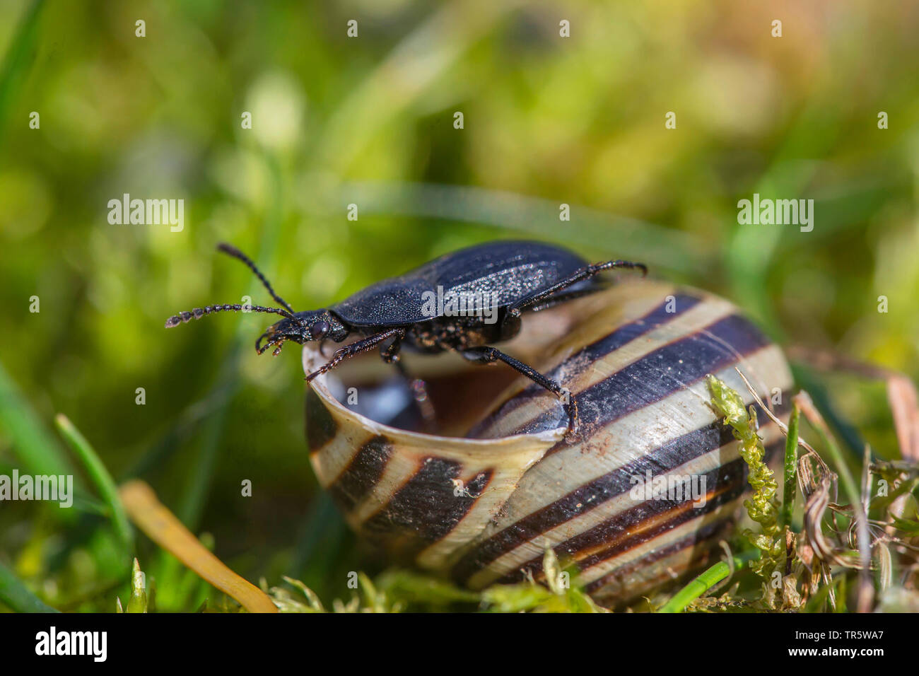 Page 3 Carrion Beetle High Resolution Stock Photography And