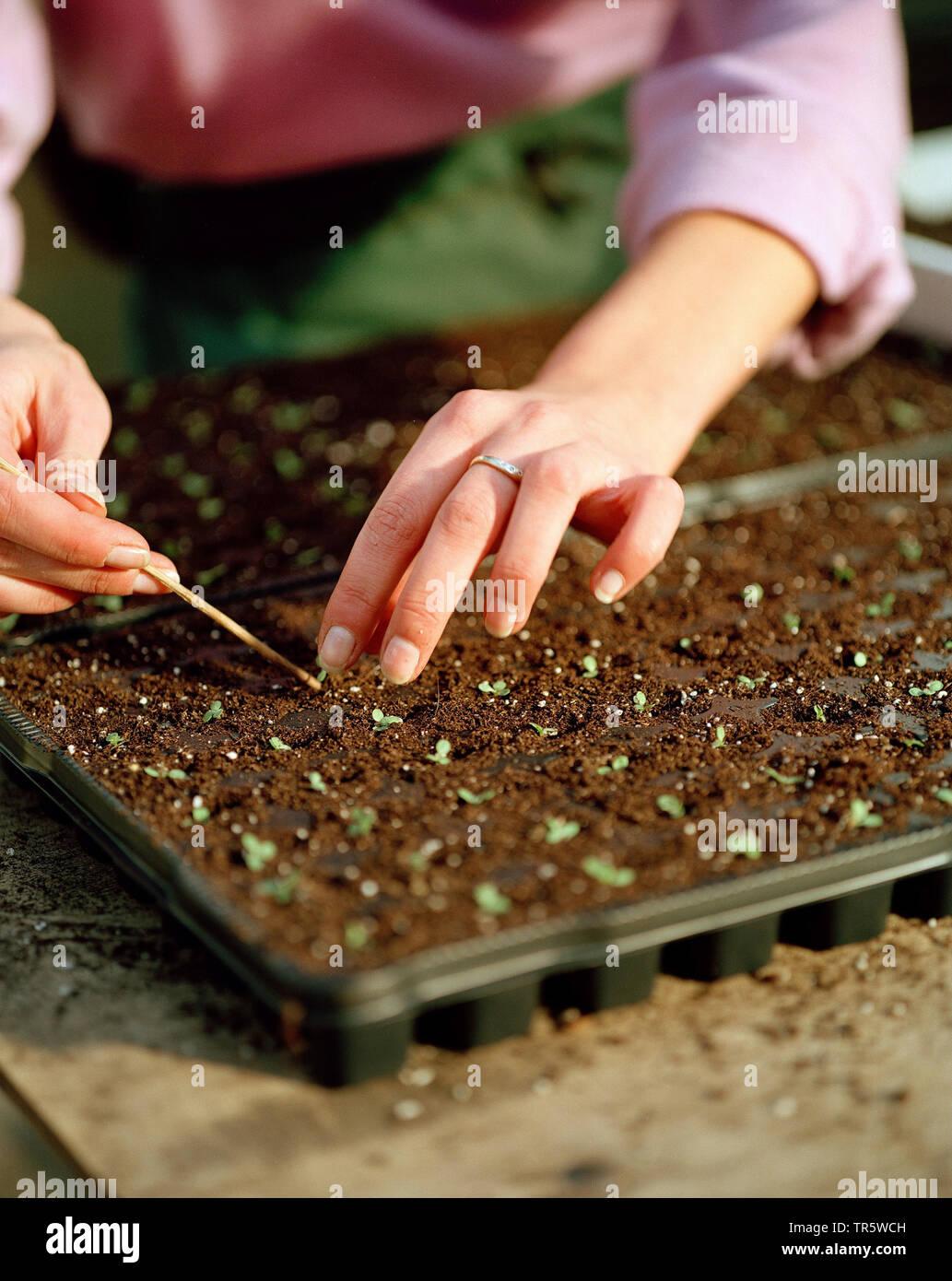 Ansaaten in einem Gewaechshaus einer Gaertneri, Pikieren der Saemlinge, Deutschland | greenhouse with seedlings in a nursery, roguing, Germany | BLWS4 - Stock Image
