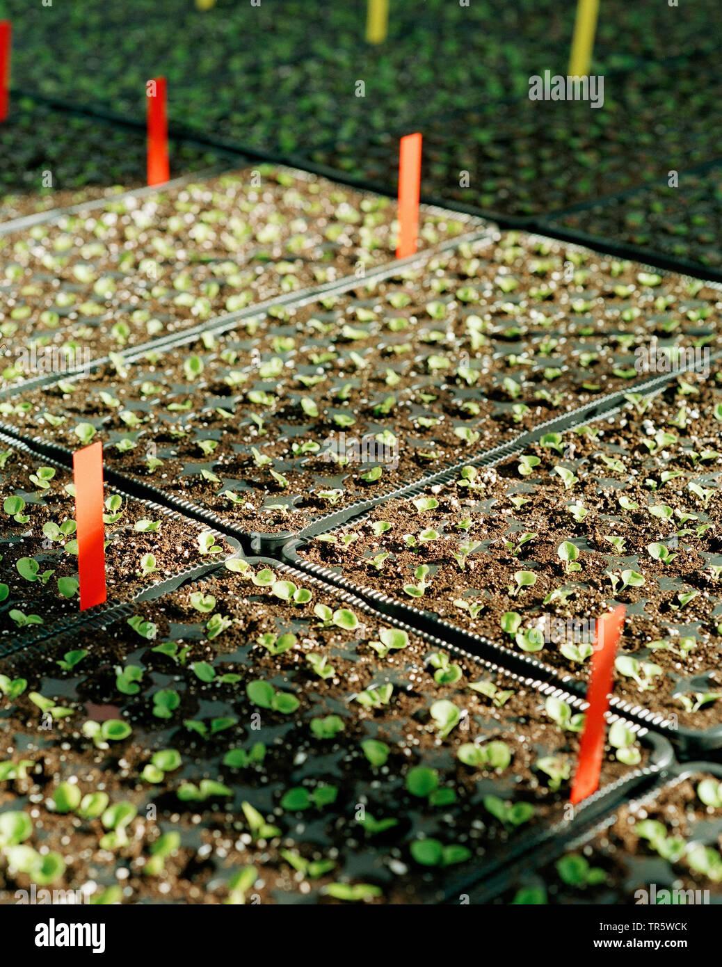 Ansaaten in einem Gewaechshaus einer Gaertnerei, Deutschland | greenhouse with seedlings in a nursery, Germany | BLWS466583.jpg [ (c) blickwinkel/C. K - Stock Image