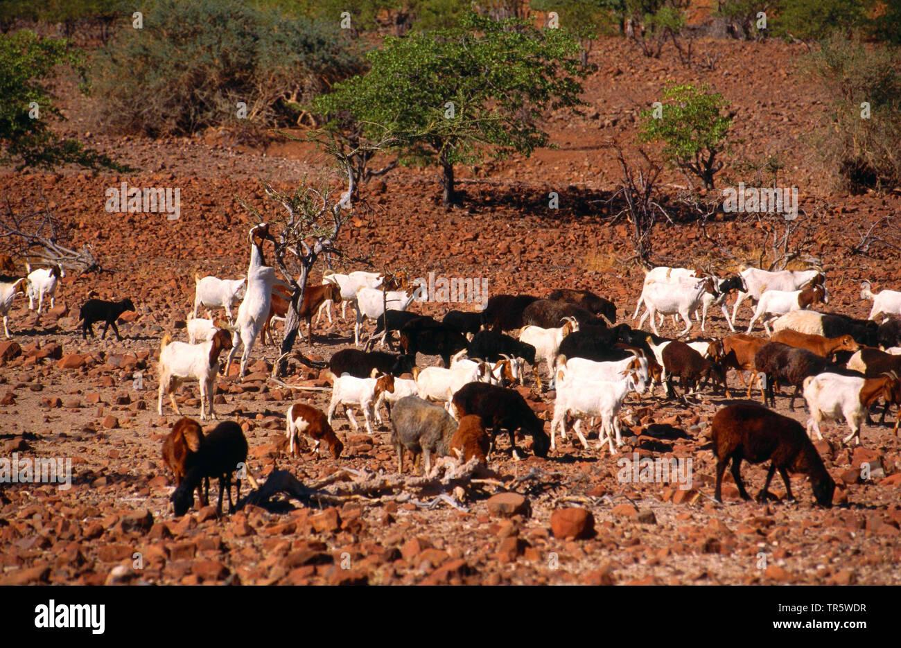 domestic goat (Capra hircus, Capra aegagrus f. hircus), herd of goats searching for food in barren landscape, Namibia, Damaraland - Stock Image