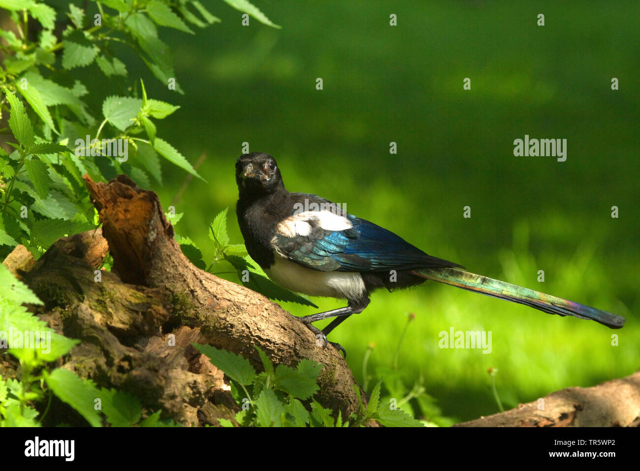 Elster (Pica pica), Jungvogel auf Ast, Deutschland, NRW | black-billed magpie (Pica pica), squeeker on a branch, Germany, North Rhine-Westphalia | BLW - Stock Image