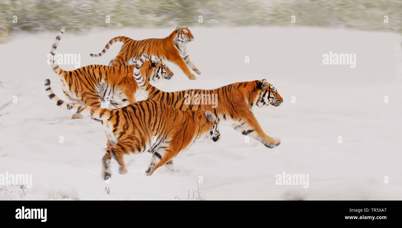Tiger (Panthera tigris), vier Tiger rennen zusammen ueber ein Schneefeld, Seitenansicht | tiger (Panthera tigris), four tigers running together over a - Stock Image