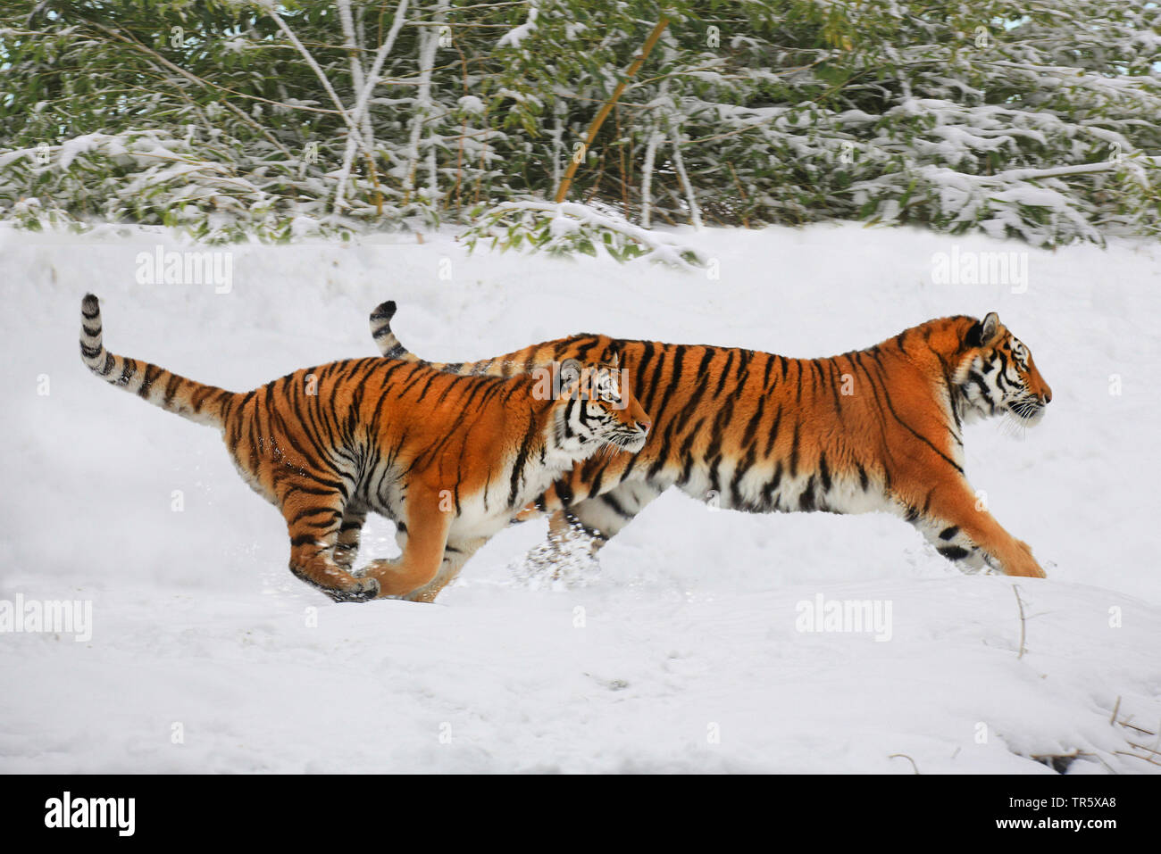 Tiger (Panthera tigris), zwei Tiger rennen zusammen ueber ein Schneefeld, Seitenansicht | tiger (Panthera tigris), two tigers running together over a - Stock Image
