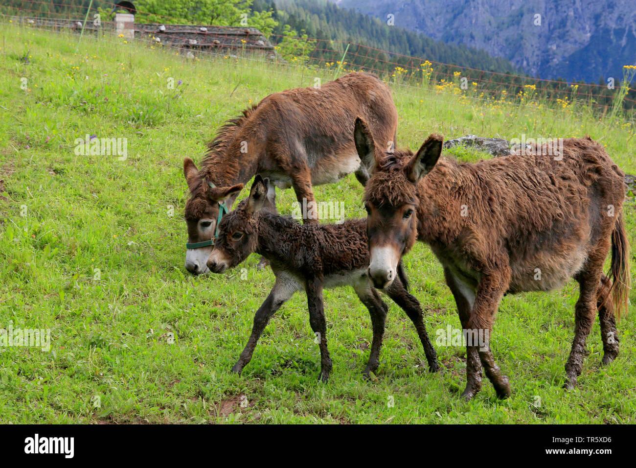 Esel, Hausesel, Haus-Esel (Equus asinus asinus), Eselfamilie auf der Weide, Deutschland | Domestic donkey (Equus asinus asinus), donkey family on a pa - Stock Image