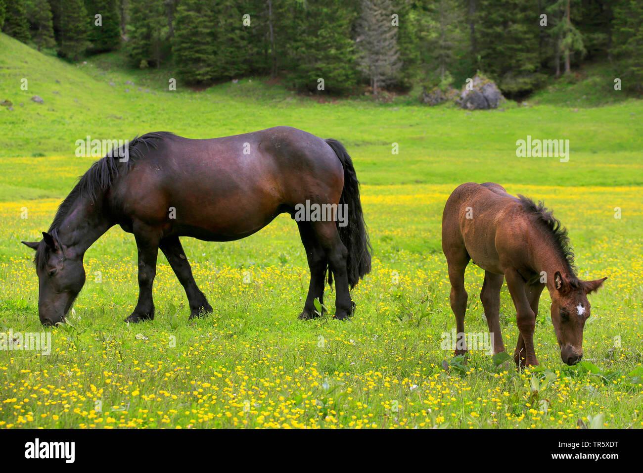 Stute mit Fohlen grasen auf der Weide, Deutschland   mare and foal grazing on a pasture, Germany   BLWS467484.jpg [ (c) blickwinkel/H. Schmidbauer Tel - Stock Image